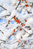 Sea-buckthorns (Hippophae) berries Stock Photo