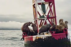 Sea Buoy. Sea lions resting on the entrance buoy of Yaquina Bay in Newport, Oregon Stock Photo