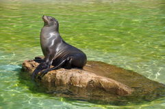 Sea Calf Royalty Free Stock Photos
