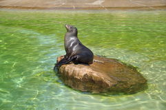 Sea Calf Royalty Free Stock Photography