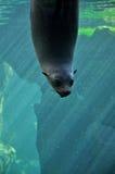 Sea calf staring through the glass. Stock Image