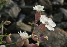 Sea Campion Stock Images