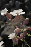 Sea Campion Stock Photography