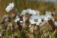 Sea campion (Silene vulgaris) in flower Royalty Free Stock Photos