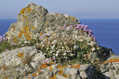 Sea Campion & Thrift Stock Photos