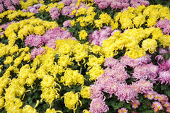 Sea of Chinese chrysanthemum Royalty Free Stock Photography