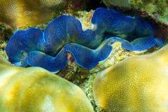 Sea clam Tridakna on corals. Banana beach, Coral Ko He island, Phuket, Thailand Stock Images