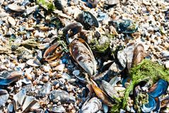 Sea clams Royalty Free Stock Image