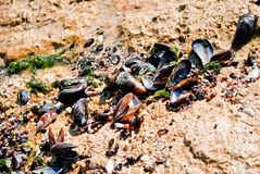 Sea clams Royalty Free Stock Photography