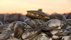 Sea Clams Stock Images