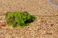 Sea coast background. Green seaweed on a beach and sea Stock Photo