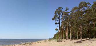 Sea coast with pines and the blue sky. Coast of the Baltic sea with pines and the blue sky royalty free stock photos