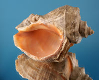 Sea cockleshell. On a dark blue background Stock Images