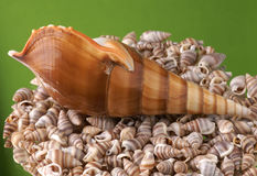Sea cockleshell. On a green background Royalty Free Stock Photography