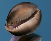 Sea cockleshell. On a dark blue background Stock Photo