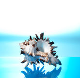 Sea cockleshell. Photographed on a blue background stock images