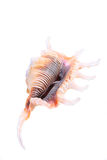 Sea cockleshell Royalty Free Stock Photo