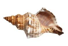 Sea cockleshell Royalty Free Stock Image