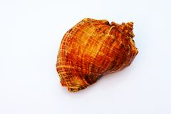 Sea cockleshell Stock Photo