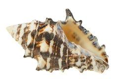 Sea cockleshell Royalty Free Stock Photo