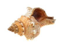 Sea cockleshell Royalty Free Stock Images