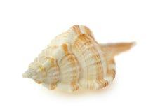 Sea cockleshell Stock Photography