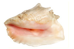 Sea cockleshell it is isolated Royalty Free Stock Images