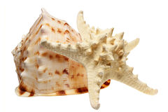 Sea cockleshell it is isolated Stock Images