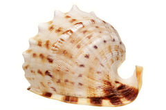 Sea cockleshell it is isolated Royalty Free Stock Image
