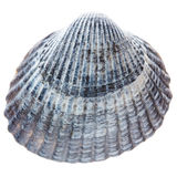Sea cockleshell isolated on white background Stock Photos