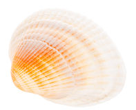 Sea cockleshell isolated on white background Stock Photography
