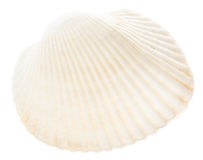 Sea cockleshell isolated on white background Royalty Free Stock Image