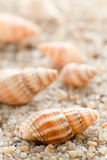 Sea cockleshell on  sand Royalty Free Stock Photos