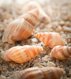 Sea cockleshell on  sand Stock Image