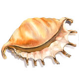Sea cockleshell, shell closeup isolated, watercolor illustration on white Royalty Free Stock Image