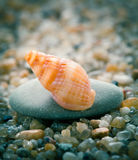 Sea cockleshell on  stone Stock Photos