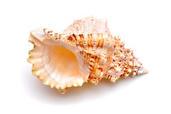 Sea cockleshell on a white background. The sea cockleshell on a white background Stock Image