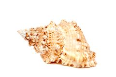 Sea cockleshell on a white background. The sea cockleshell on a white background Royalty Free Stock Images