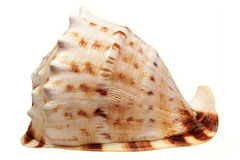 Sea cockleshell on a white background Stock Photos