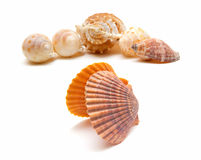 Sea cockleshells isolated on white background Royalty Free Stock Images