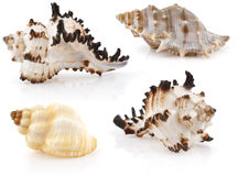 Sea cockleshells Royalty Free Stock Photos