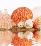 Sea Cockleshells Royalty Free Stock Images