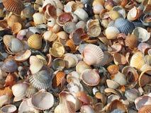Sea cockleshells Stock Photography