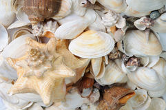 Sea cockleshells background Royalty Free Stock Photo