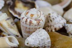 Sea cockleshells Stock Photography