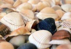 Sea cockleshells Royalty Free Stock Photography