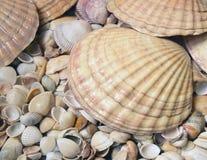 Sea cockleshells Royalty Free Stock Image