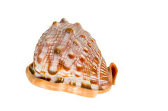 Sea cockleshells . Royalty Free Stock Photography