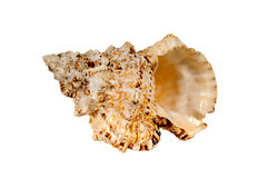 Sea cockleshells . Royalty Free Stock Photo