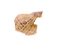 Sea colored shell, close up isolated, white background Royalty Free Stock Photo
